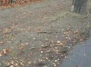 obnažené kořeny kaštanů v aleji